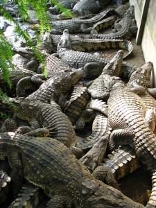 Крокодилы в вольере