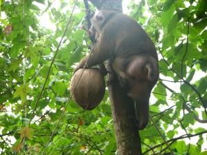 Обезьяна сборщик кокосов