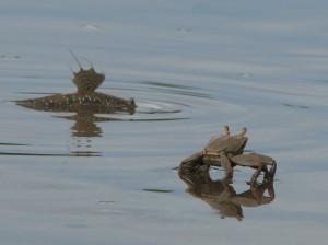 Речной краб и прыгающая рыба